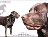 Chocolate Labrador Retriever September 2020