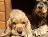 Hund Cocker Spaniel Welpen August 2020