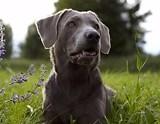 Labrador Retriever Schwarz Welpen Kaufen September 2020
