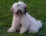 Tibet Terrier Nordrhein Westfalen August 2020